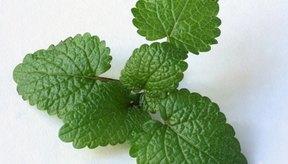 Té bálsamo de melisa puede ayudar a tratar muchas condiciones.