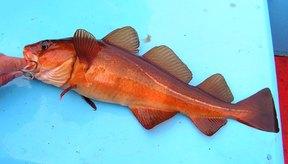 El hígado del bacalao contiene un nutritivo aceite.