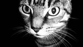 Trata la pupila dilatada de tu gato con unas técnicas sencillas.
