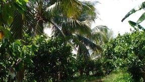 La mayor parte del cacao se produce en la plantaciones de África Occidental.