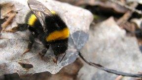 Qué hacer en caso de una picadura de una abeja en el ojo.