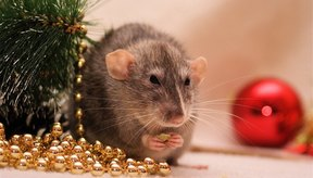 Las ratas pueden ingresar fácilmente a tu casa por una pequeña abertura.