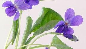 Sweet violet.