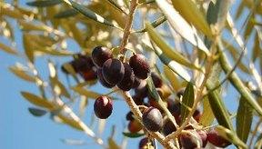 Las aceitunas negras pueden ser parte de una dieta saludable cuando se consumen con moderación