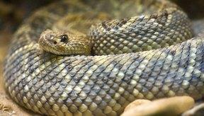 Las serpientes de cascabel dependen de una lipasa para romper el tejido de sus presas.