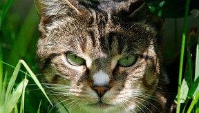 Los alérgenos del interior y del exterior pueden causar comezón e irritación en la piel de los gatos.