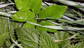 La hoja de ortiga ofrece muchos beneficios medicinales.