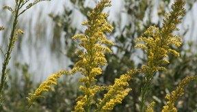 Las alergias como aquellas causadas por la ambrosía o el polen pueden causar congestión nasal que conduce a las ojeras.