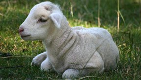 Los corderos pueden padecer diarrea.