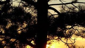 El extracto de corteza de pino es un suplemento antioxidante derivado del pino marítimo (Pinus maritima).