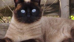 Los gatos castrados machos pueden seguir rociando por estrés.