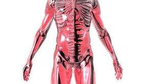 Los adenocarcinomas se presentan en el revestimiento de los órganos glandulares.