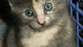 Hay muchas enfermedades de los gatos que pueden causar vomito y diarrea.