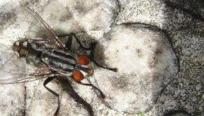 Las cresas son las larvas de mosca.
