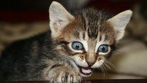 La causa más común del babeo en los gatos es la irritación oral.