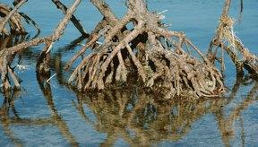 Las raíces absorben el agua del suelo circundante por ósmosis.