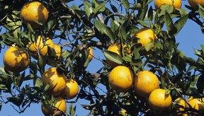 Naranjas creciendo en un árbol.