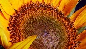 Las semillas de girasol también contienen cantidades significativas de cobre, zinc, hierro y fibra.