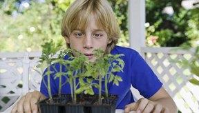 Los brotes y semillas de chía son un agregado beneficioso a cualquier dieta.