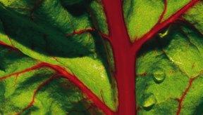 Comer acelga puede beneficiar a tu glándula tiroides.