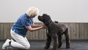 Cuando el perro envejece, sus riñones comienzan a funcionar menos.