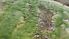 Las algas verde azuladas pueden ser tanto productoras como no productoras de toxinas, en función del tipo de algas verde azuladas.