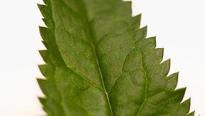Las ortigas tienen hojas aserradas.