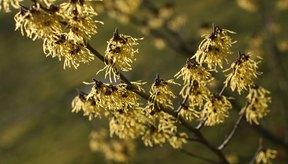 El olmo escocés se extrae de la corteza y las hojas de la planta de olmo escocés y se utiliza como astringente, anti-inflamatorio y tónico.
