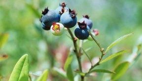 Según el NCCAM, la fruta de arándano ha sido utilizada en el tiempo para tratar la diarrea, el escorbuto y otras enfermedades.