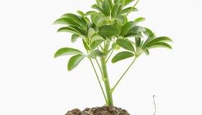 Otro nombre para fitoesteroles es esteroles vegetales, que son compuestos orgánicos.