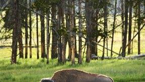La carne de bisonte es una alternativa de bajo contenido de grasa a la carne de res.