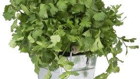 El cilantro y sus propiedades gastronómicas y curativas.