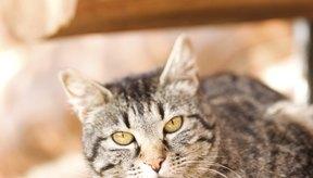 Las manchas negras que se encuentran en el pelo de los gatos generalmente son un signo de pulgas.