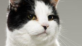 Cuáles son los tratamientos para el acné de la barbilla de un felino.