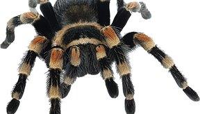 En una araña, el abdomen no se conecta con las patas.