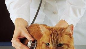 El prolapso anal no es una amenaza a la vida pero sí es más una irritación para los gatos y sus dueños.