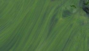Las algas tienen un contenido variable de iodo.
