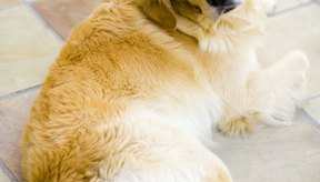 El Panacur debe ser recetado por un veterinario con experiencia.