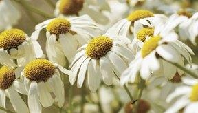 Empapadas en agua caliente, estas flores de manzanilla producen un té calmante.