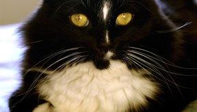 Este gato es conocido como el