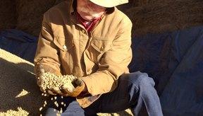 Granjero con un manojo de granos de soja.