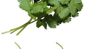 Selecciona el cilantro más fresco para obtener los mejores resultados al secarlo.