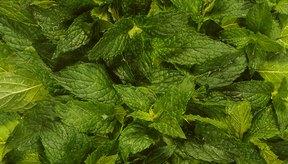 El té de menta es un remedio herbal.