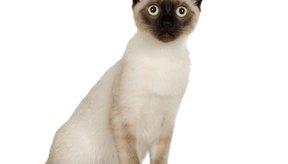 Los gatos siameses a veces son mejor tolerados por las personas alérgicas a los gatos.