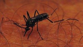 Los mosquitos hembra pican a los humanos para obtener sangre rica en nutrientes para fertilizar sus huevos.