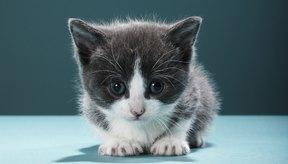 Los gatitos están en desarrollo y son animales frágiles, lo que los hace propensos a tener fracturas de huesos.