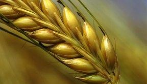 Muchas personas presentan una intolerancia al trigo y a sus derivados.