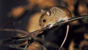 A veces, los ratones pueden morder a los humanos y a las mascotas.
