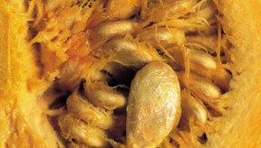 Las semillas de calabaza son un bocadillo saludable para el corazón y rico en zinc.