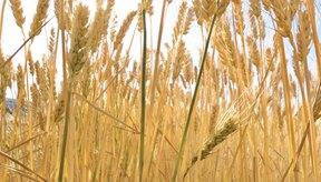 El seitán está hecho de la proteína encontrada en el trigo, conocida como gluten.